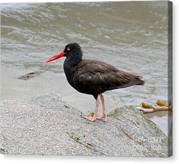 Canvas Print featuring the photograph Black Oystercatcher-1 by Bob and Jan Shriner
