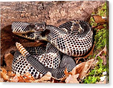 Black Phase Timber Rattlesnake Canvas Print by David Northcott