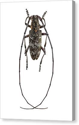 Black Pine Sawyer Beetle Canvas Print