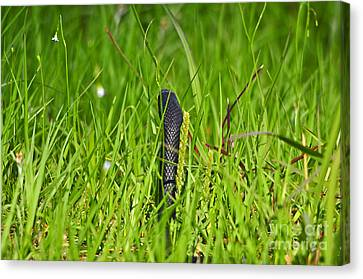 Black Racer Back Canvas Print by Al Powell Photography USA