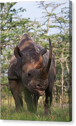 Black Rhino (diceros Bicornis Canvas Print by Keren Su
