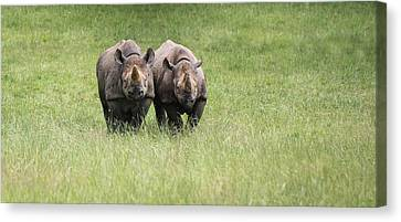 Black Rhinoceros Diceros Bicornis Michaeli In Captivity Canvas Print by Matthew Gibson