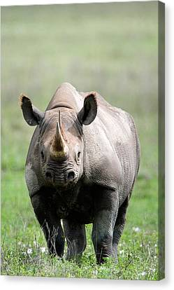 Black Rhinoceros Diceros Bicornis Canvas Print