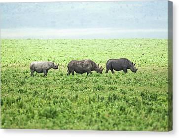 Black Rhinoceros (diceros Bicornis) Canvas Print by Photostock-israel