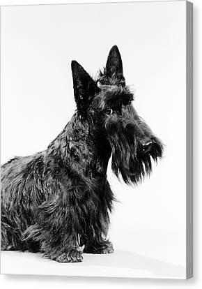 Scottish Dog Canvas Print - Black Scottie Scottish Terrier Dog by Vintage Images