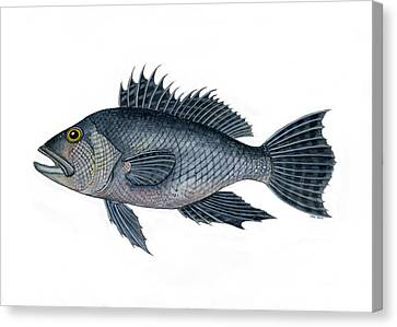 Black Sea Bass 3 Canvas Print