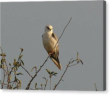 Black-shouldered Kite Canvas Print