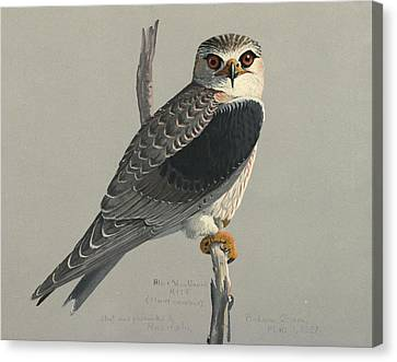 Black Shouldered Kite Canvas Print