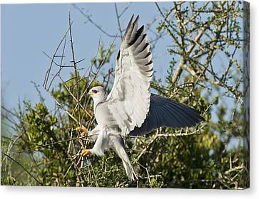 Black-shouldered Kite Canvas Print by Science Photo Library