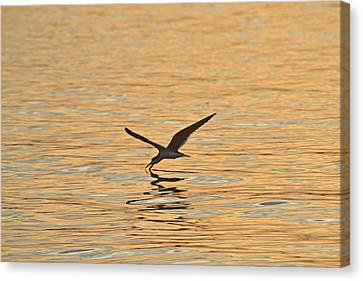 Canvas Print featuring the photograph Black Skimmer by Dana Sohr