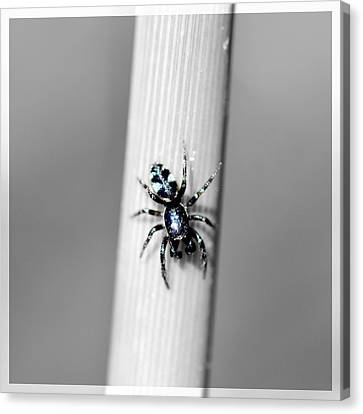 Black Spider In Black And White Canvas Print
