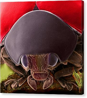 Black Spotted Ladybird Canvas Print by Natural History Museum, London