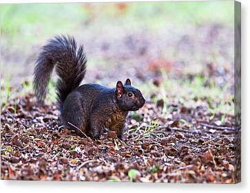 Black Squirrel On The Ground Canvas Print by John Devries