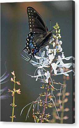 Black Swallowtail Among The Cats Whiskers Canvas Print by Suzanne Gaff