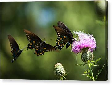 Butterfly In Motion Canvas Print - Black Swallowtail Butterflies  Papilio by Robert L. Potts