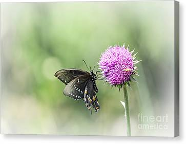 Black Swallowtail Dreaming Canvas Print by Debbie Green