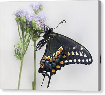 Black Swallowtail II Canvas Print by David and Carol Kelly