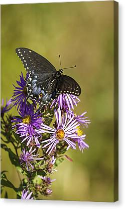 Black Swallowtail On Aster Flower 2 Canvas Print by Thomas Young