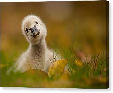 Ducklings Canvas Print - Black Swan Baby by Robert Adamec