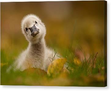 Black Swan Baby Canvas Print