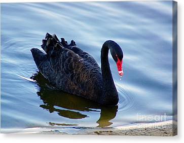 Black Swan Canvas Print by Cassandra Buckley