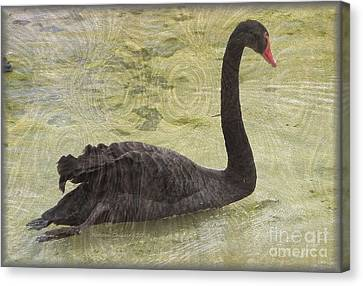 Black Swan Canvas Print by Kathie Chicoine