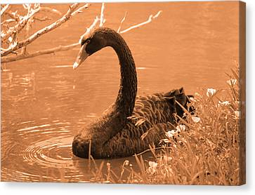 Canvas Print featuring the photograph Black Swan by Leticia Latocki