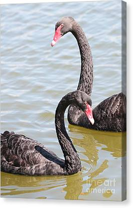 Black Swan Pair Canvas Print by Carol Groenen