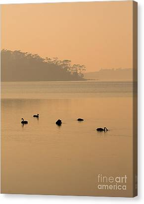 Black Swan Sunrise Canvas Print