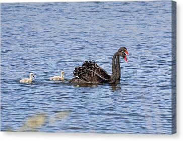 Black Swans Canvas Print by Steven Ralser