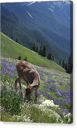Black-tailed Deer And Lupines Canvas Print by Mark Alder