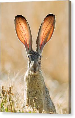 Black-tailed Hare Davis California Canvas Print by Doug Herr