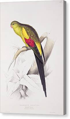 Parakeet Canvas Print - Black Tailed Parakeet by Edward Lear