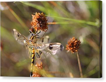 Black-tailed Skimmer Dragonfly Canvas Print by Lorri Crossno