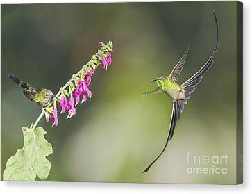 Canvas Print featuring the photograph Black-tailed Trainbearer Hummingbirds by Dan Suzio
