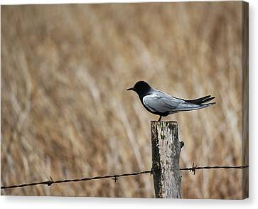 Canvas Print featuring the photograph Black Tern by Ryan Crouse