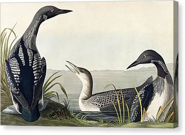 Black Throated Diver  Canvas Print by John James Audubon