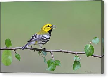 Canvas Print featuring the photograph Black Throated Green Warbler Calling by Daniel Behm