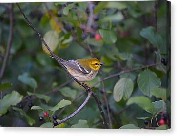 Canvas Print featuring the photograph Black-throated Green Warbler by James Petersen