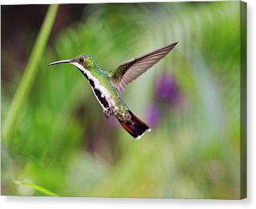 Black-throated Mango Hummingbird Canvas Print by Bob Gibbons