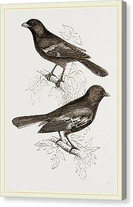 Black Titmice Canvas Print by Litz Collection