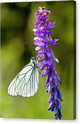 Black-veined White On Narrow-leaved Vetch Canvas Print by Bob Gibbons