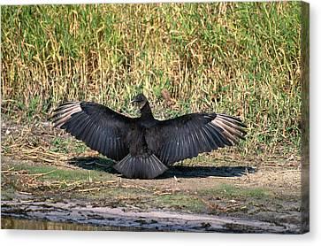 Black Vulture Canvas Print by Paul J. Fusco