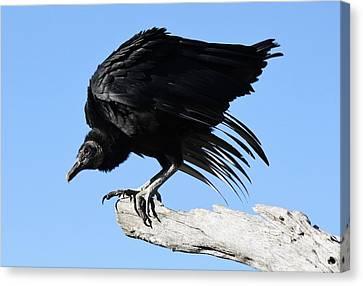 Black Vulture Canvas Print by Paulette Thomas