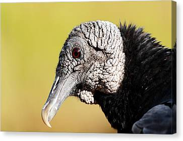 Black Vulture Portrait Canvas Print by Katherine White