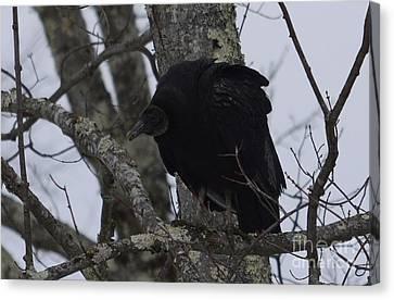 Black Vulture Canvas Print by Randy Bodkins