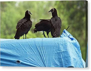 Black Vultures Canvas Print