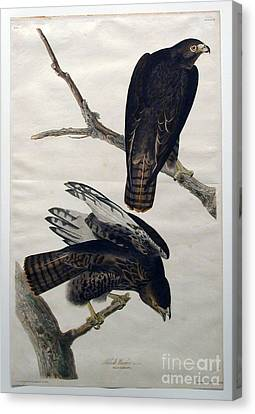 Heron Canvas Print - Black Warrior  by Celestial Images