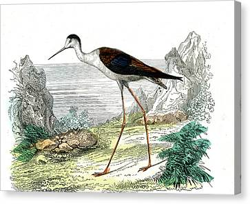 Black-winged Stilt Canvas Print by Collection Abecasis