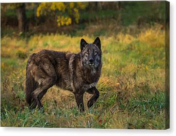 Black Wolf In Fall Colors Canvas Print